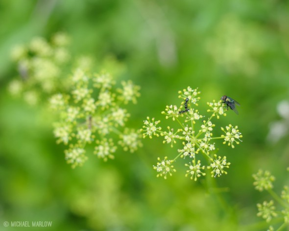 Fly and ants on parsley