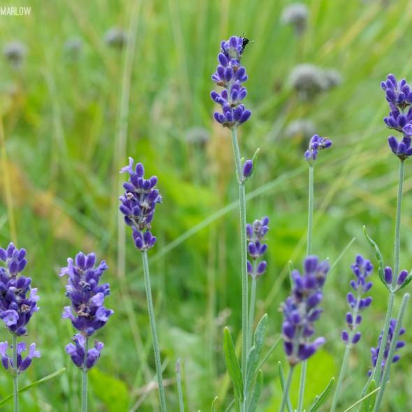 japanese beetle on lavender