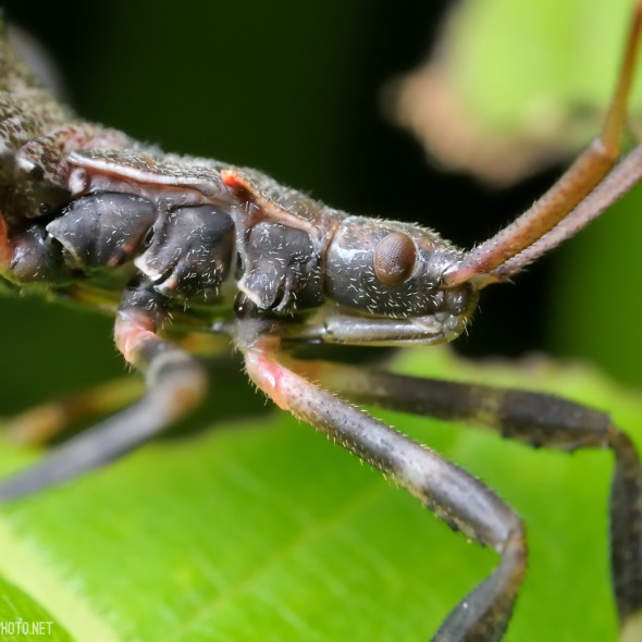 leaf-footed bug nymph head in profile