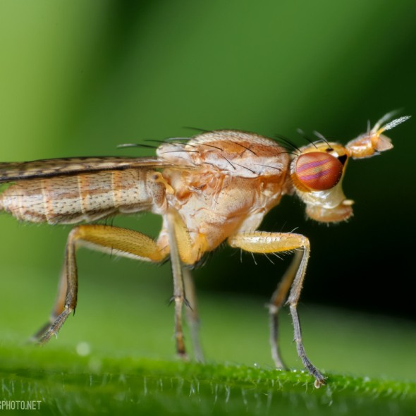 a marsh fly with candy-striped eyes