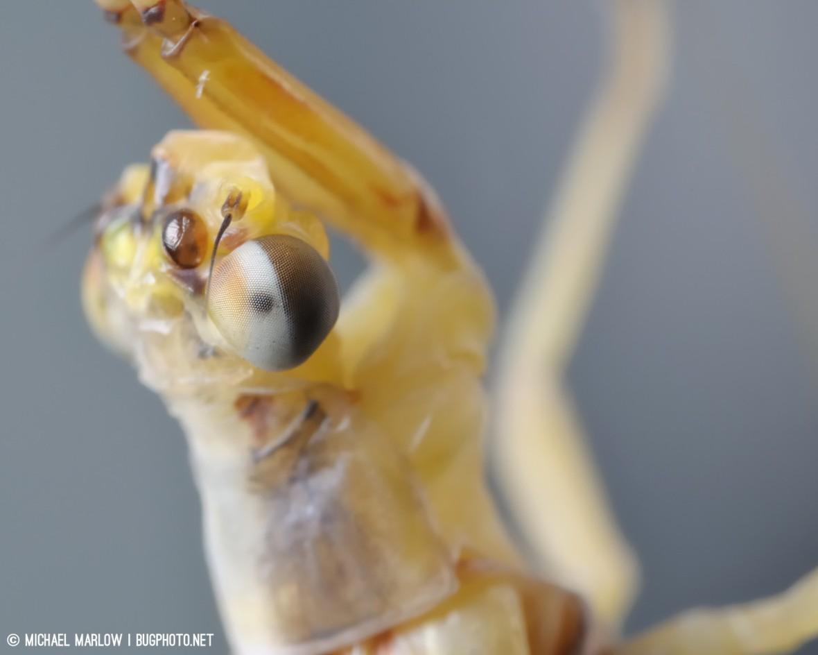 close up of a mayfly eye