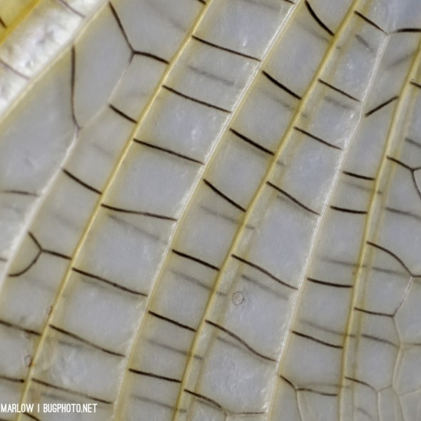 detail of mayfly wing