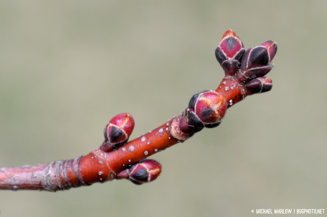 Maple tree buds (Acer saccharum — I believe)