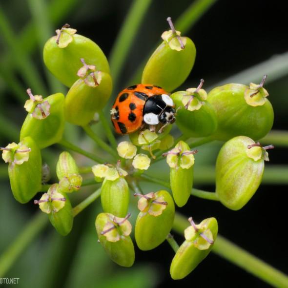 Ladybird beetle (Coccinellidae) on parsley.