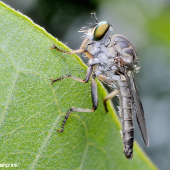 robber fly asilidae