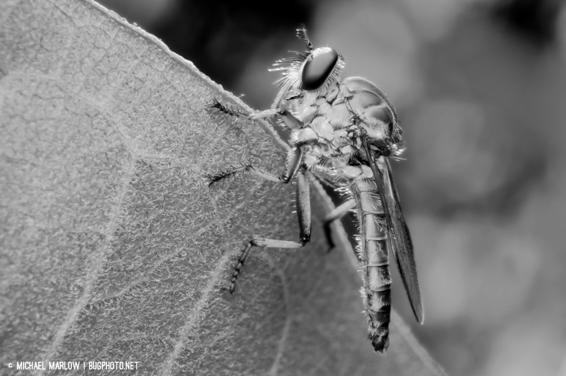 robber fly asilidae in black and white
