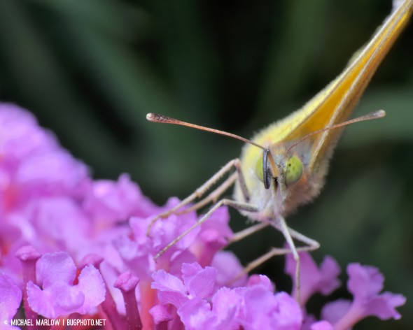 sulphur butterfly with unfurled proboscis on butterfly bush