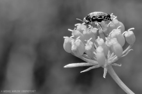 Tumbling flower beetle (Mordellidae) on parsley. (black and white)