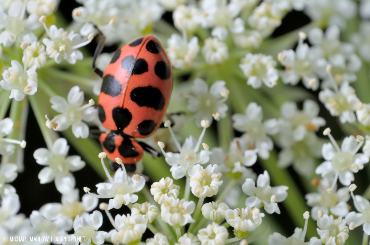 Ladybug (Coccinellidae) on Queen Anne's lace (Daucus carota),