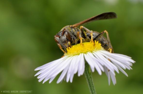 paper wasp on a wild flower