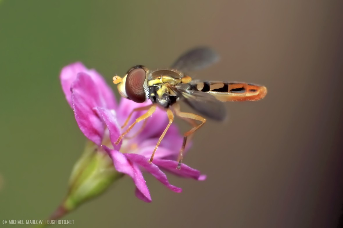 hoverfly_1170_iP12_NXDver