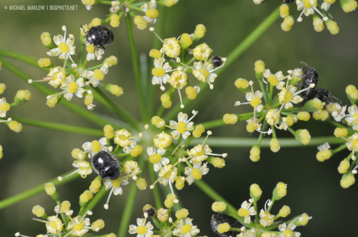 several small shiny black true bugs on little yellow-white flowers