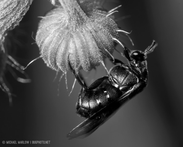an all black, wasp-like beetle hangs from a bulbous downward facing plant structure