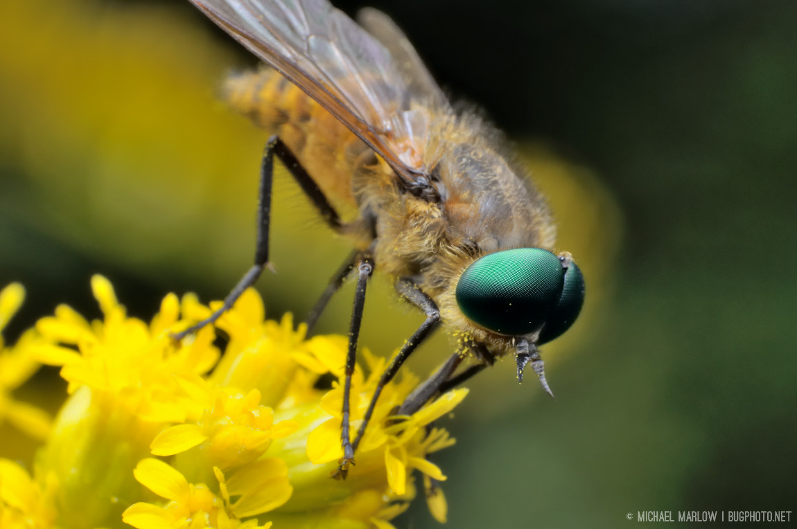 Eyes of a Different Color (Horse Fly, Tabanidae ...