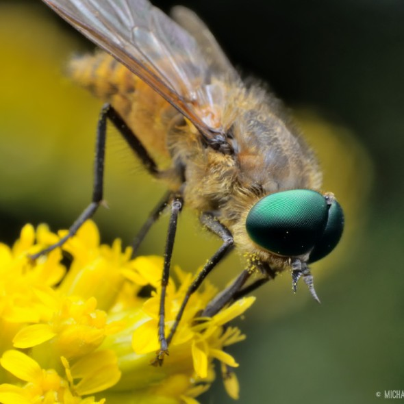 horse fly with green eyes and long proboscis on goldenrod flowers