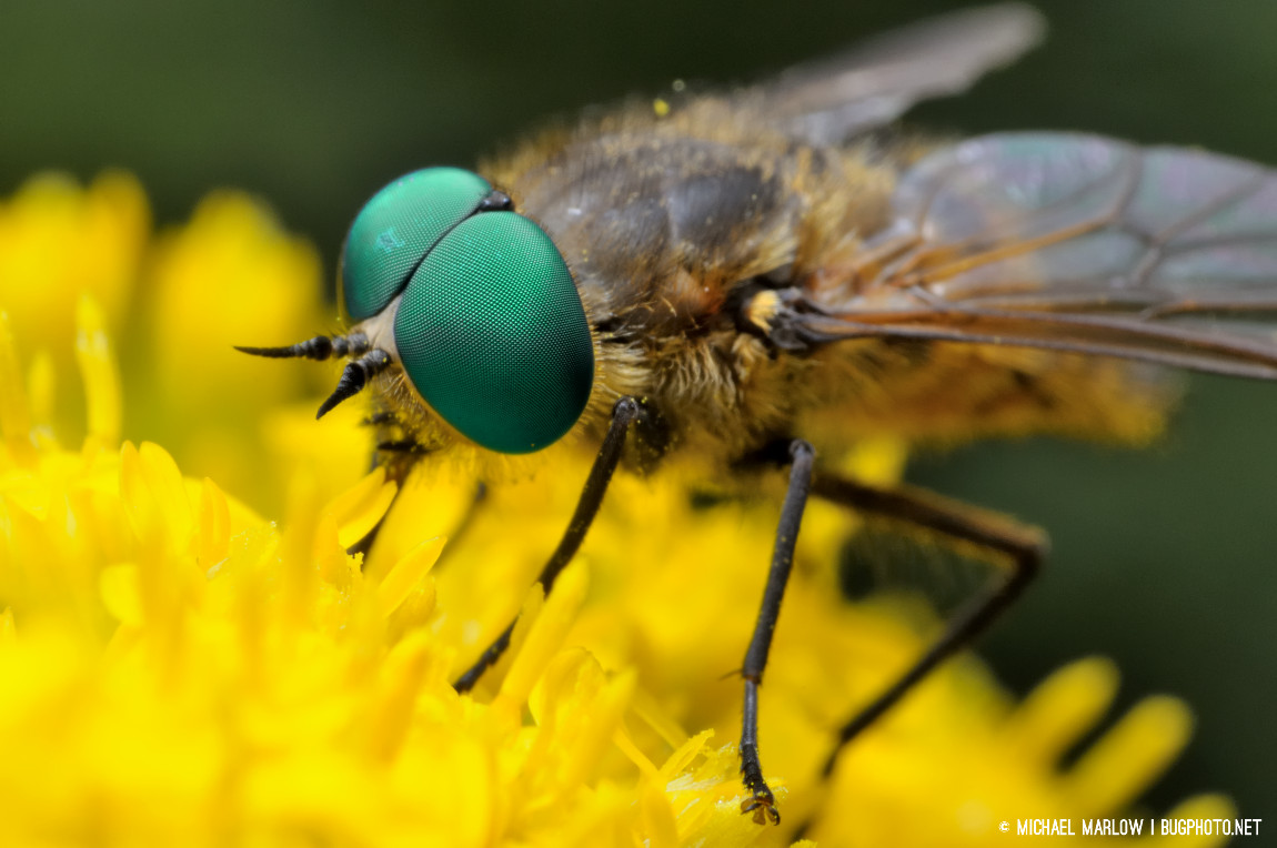 Irregular spots on green eyes of horse fly on yellow goldenrod flowers