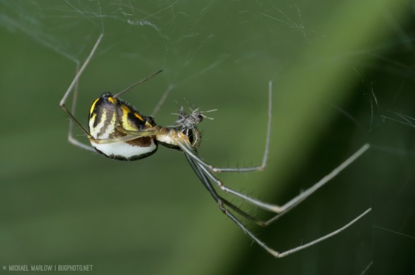 Spider with black and yellow markings on white abdomen with tiny grey fly in jaws