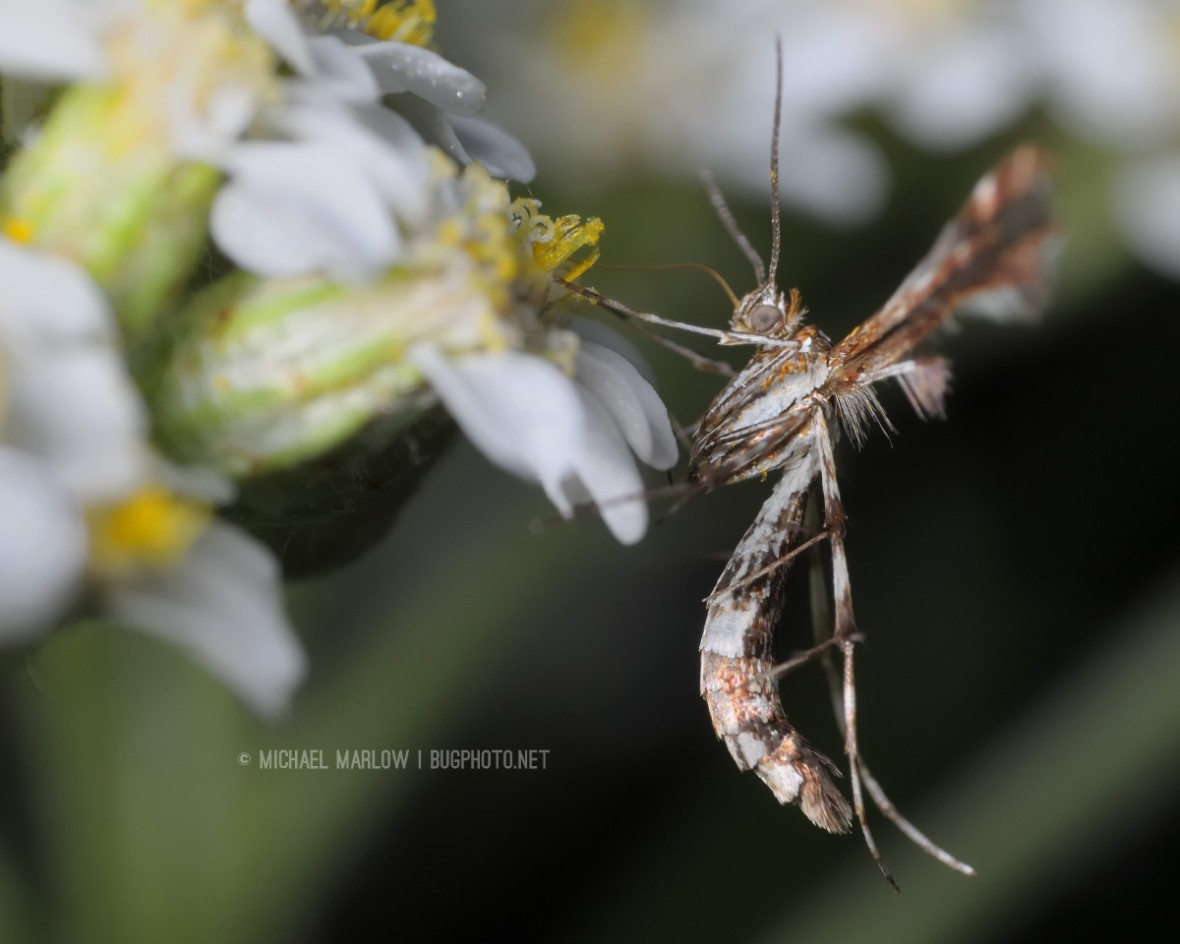 profile of brown and white curvy body and spiky legs of plume moth on whitish flower