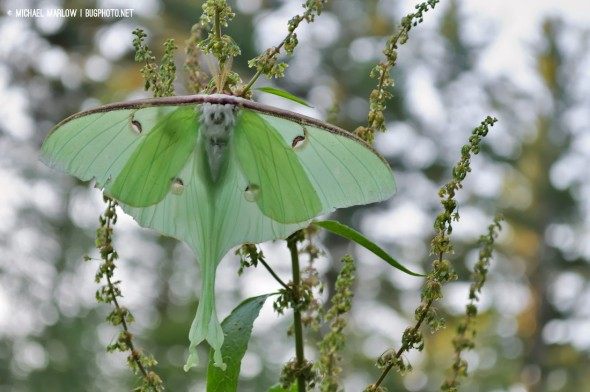 large pale green moth with long tails flat with bokeh of trees and white light