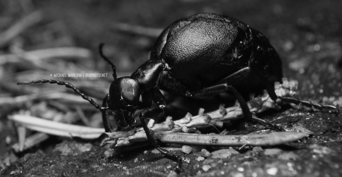 a large metallic beetle at rest on a dried twig and pine needle