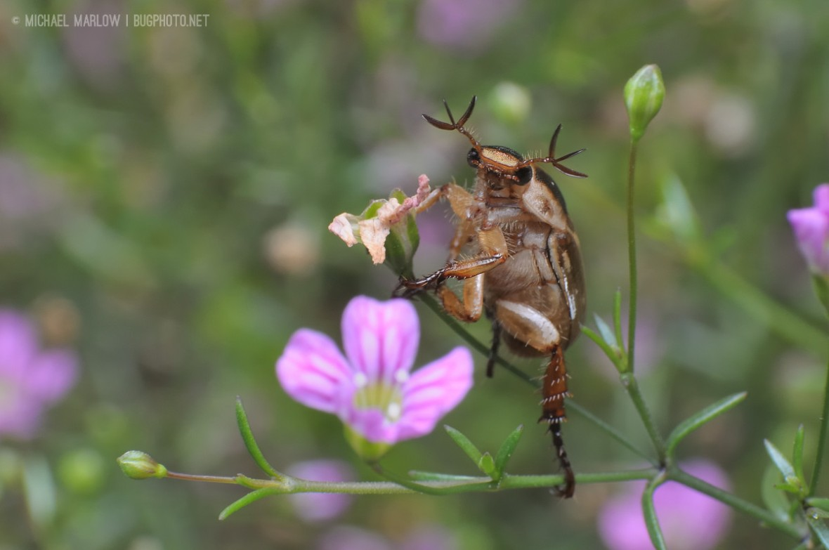 scarab beetle with tri-pointed antennae balanced on thin stemmed pink flower