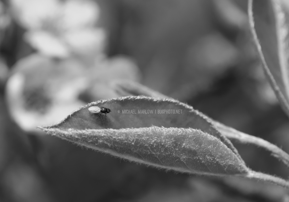 small fly on outer half of pear leaf, white blossoms in the background