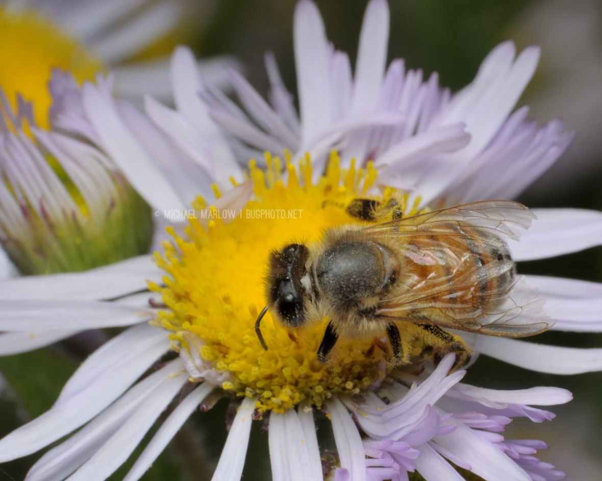 dorsal view of honey bee on a white petaled wild flower with yellow center