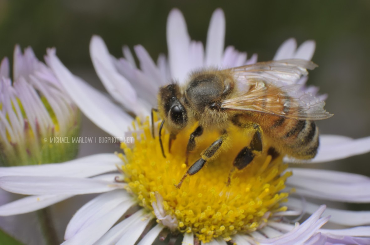 honey bee on wild flower with yellow center and white petals