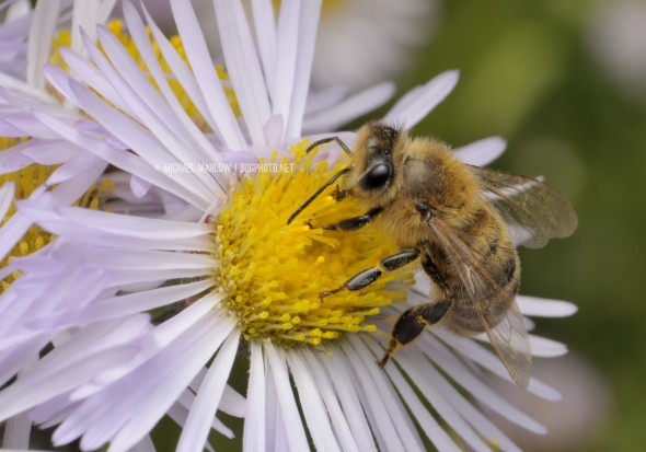 typical honey bee on the yellow center of a wild flower with white petals