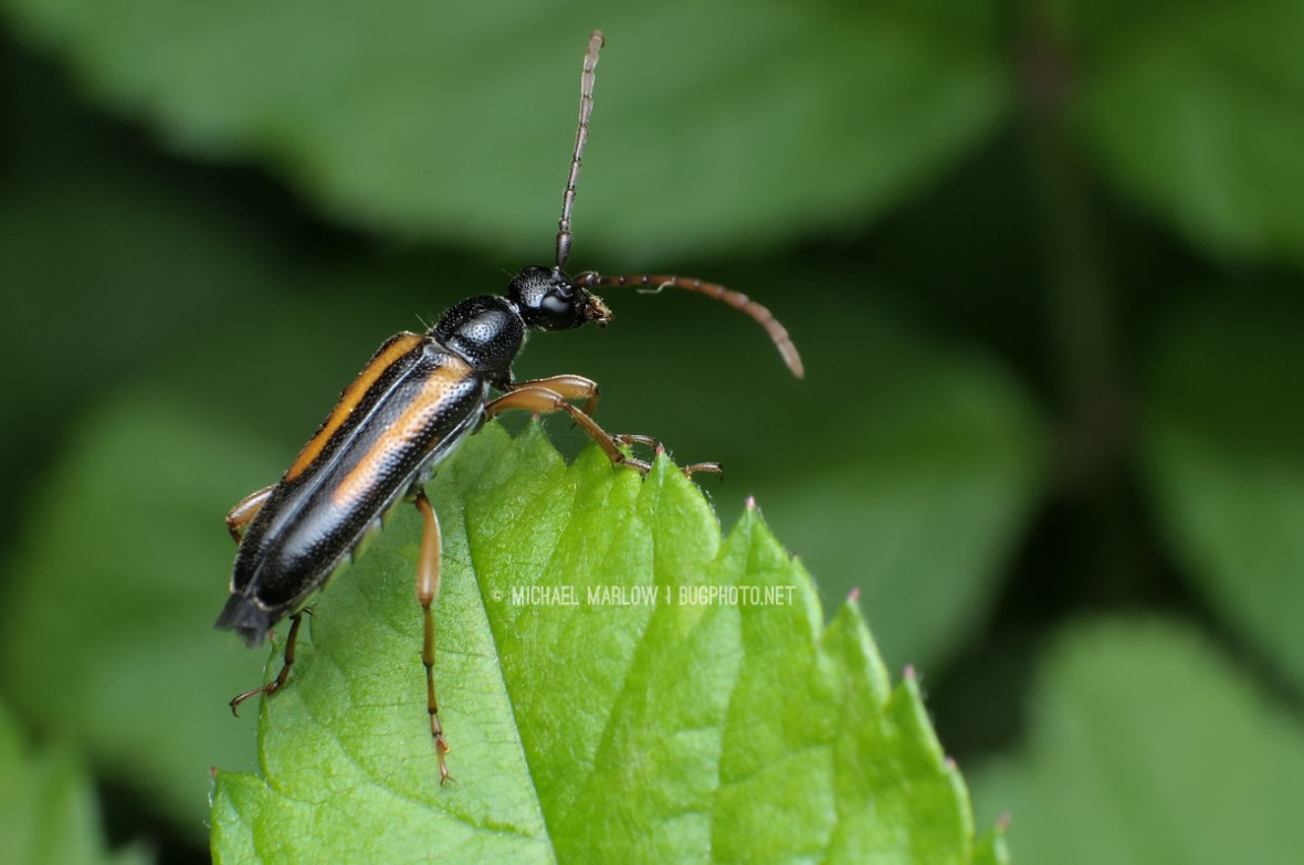 flower longhorn beetle on a broad leaf with serrated edges