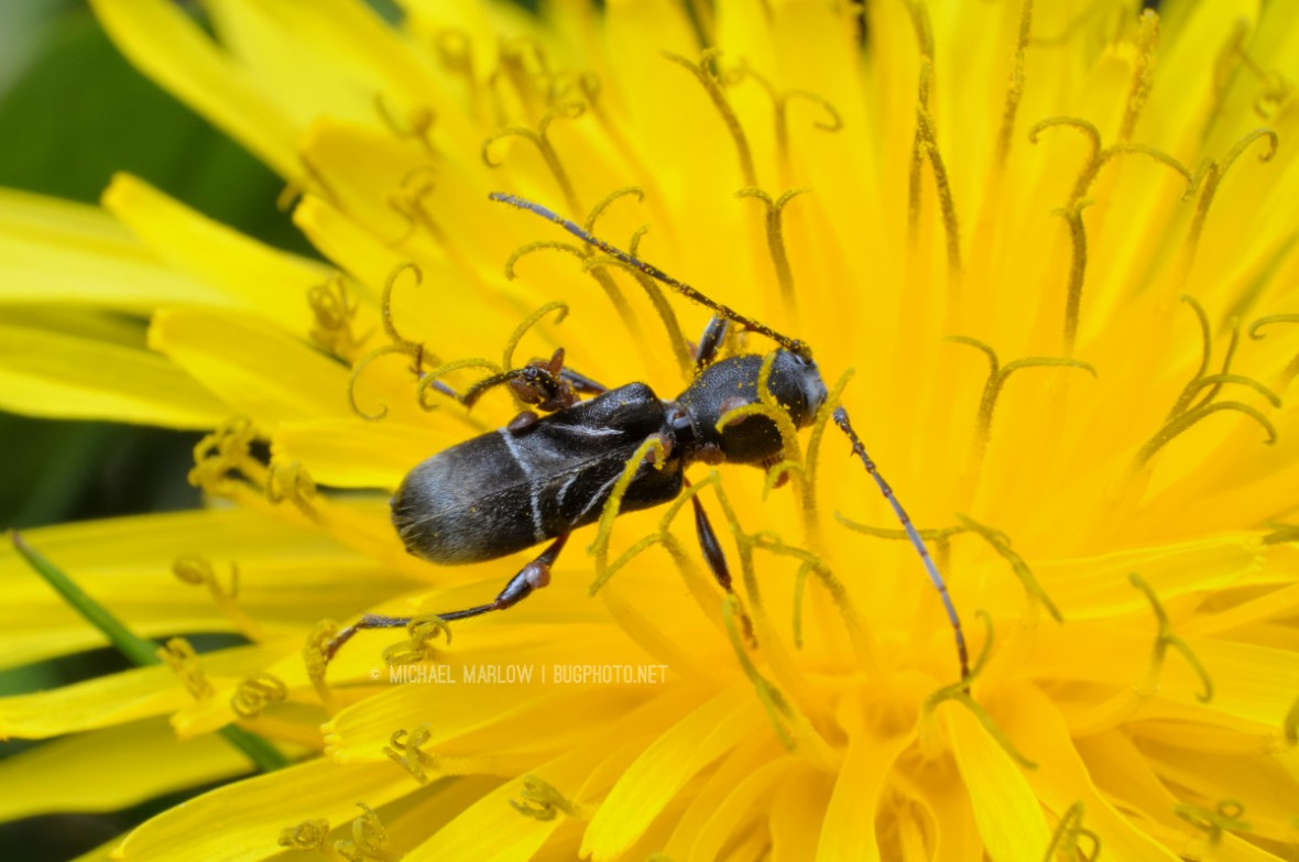 black ant mimic beetle with mites on fresh dandelion blossom