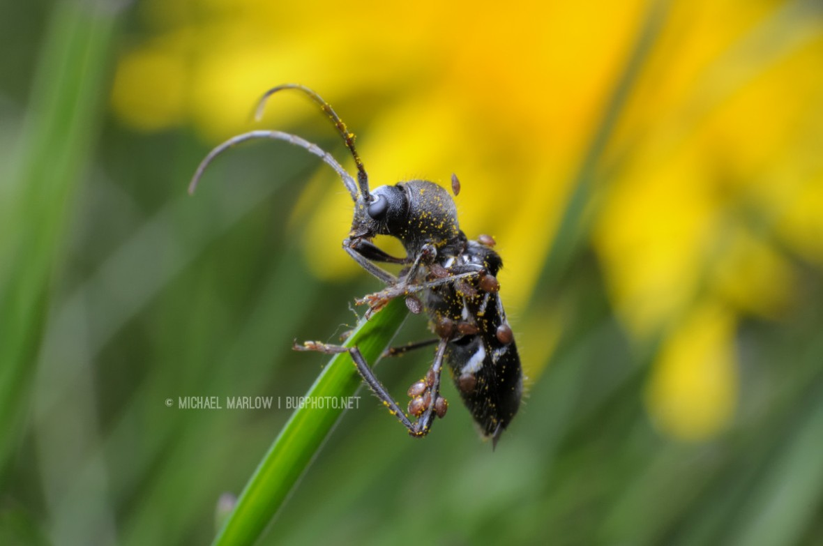 black ant mimic longhorn beetle covered with brown mites on a single blade of grass