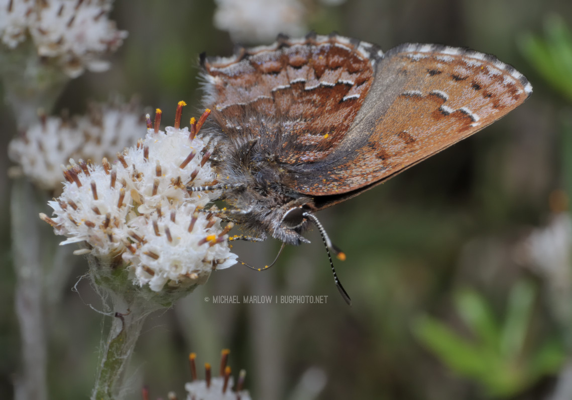 uniquely patterned brown butterfly at an angle on small white flowers