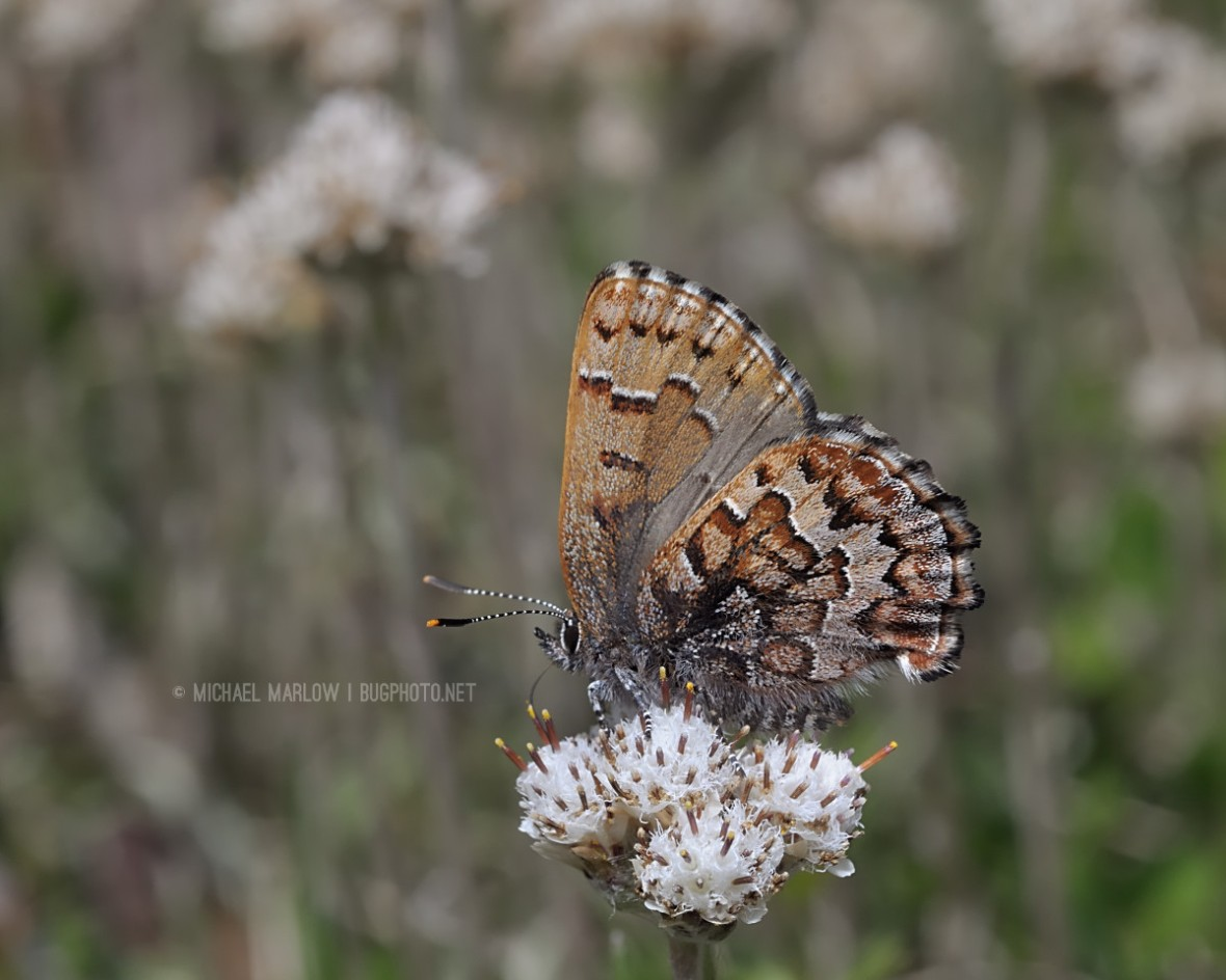 brown butterfly with distinct pattern on small cluster of small weed flowers