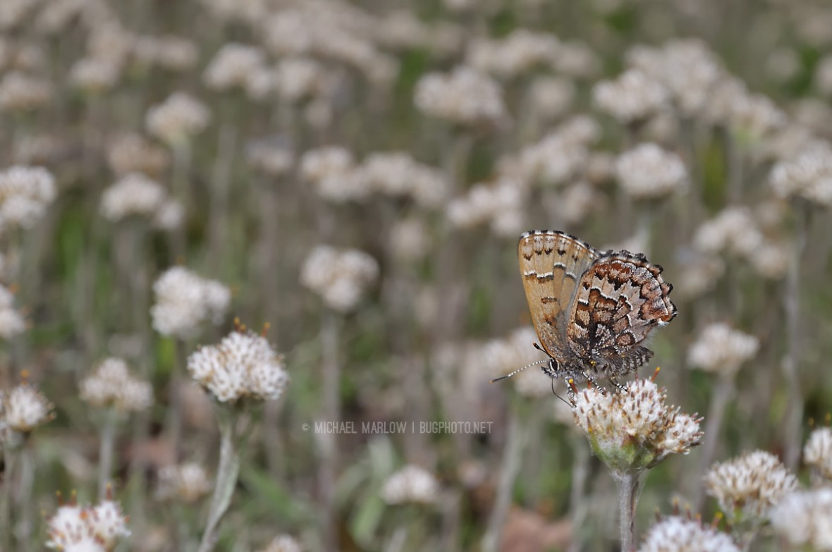 small brown butterfly on patch of small weed flowers