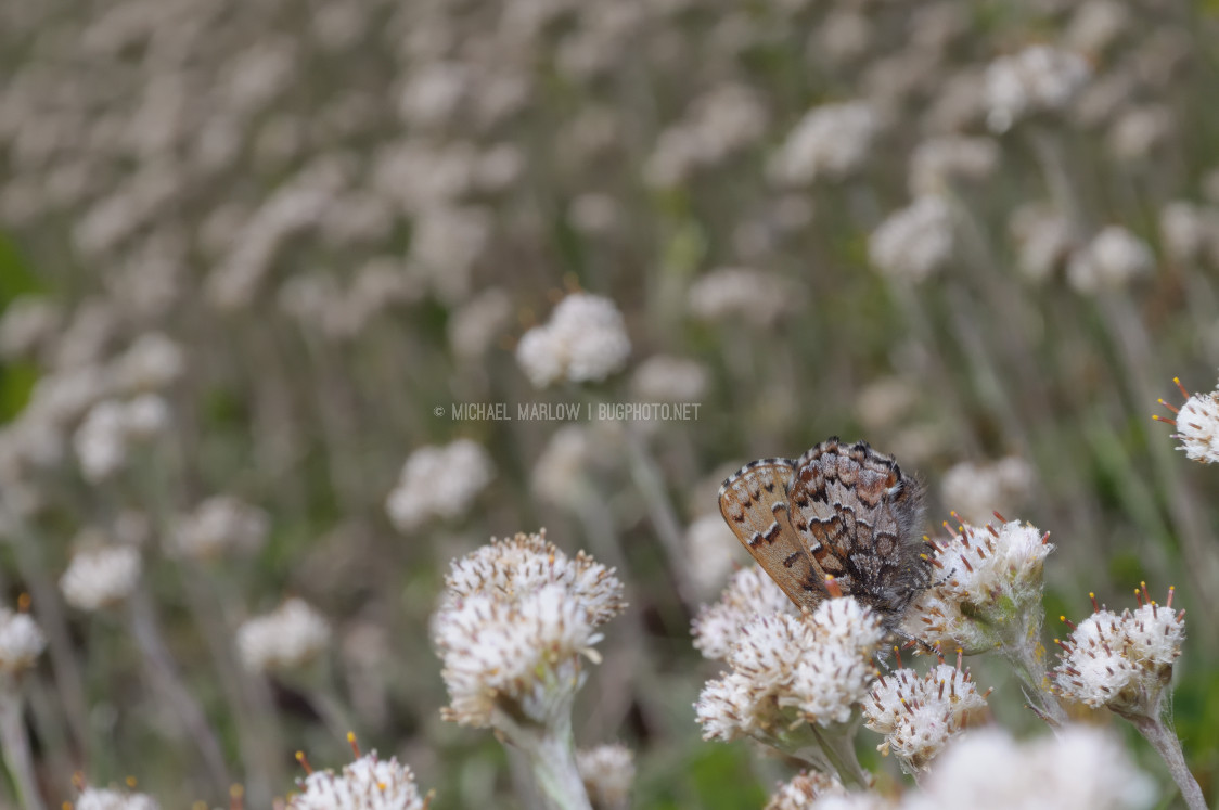 small brown butterfly with head buried in small cluster of small weed flowers