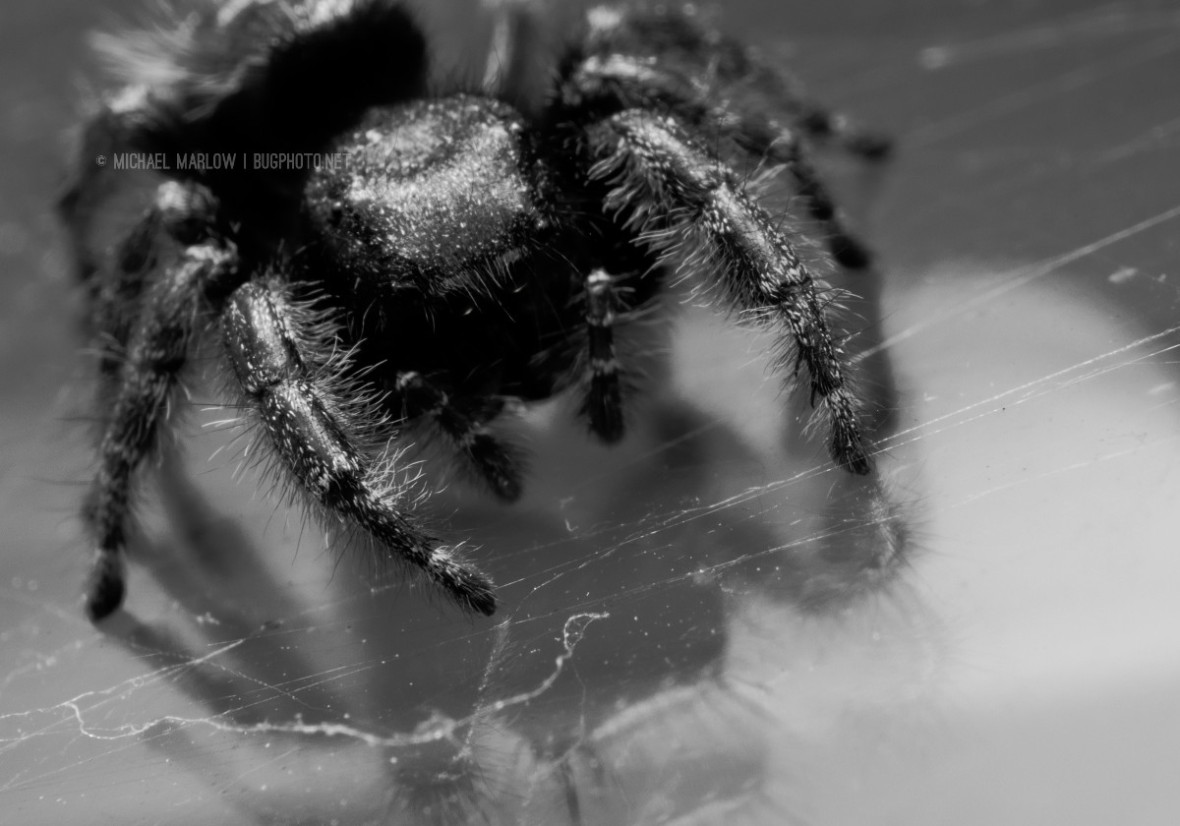 black jumping spider looking down into reflective surface