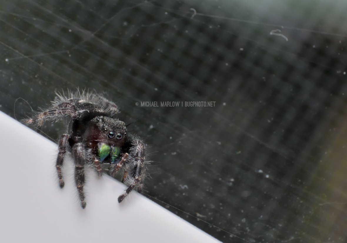 dark jumping spider with green chelicerae with half its leg on outside edge of window frame