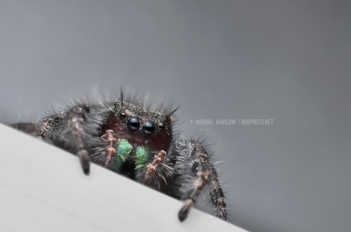 dark jumping spider with bright green chelicerae with forelegs over white edge