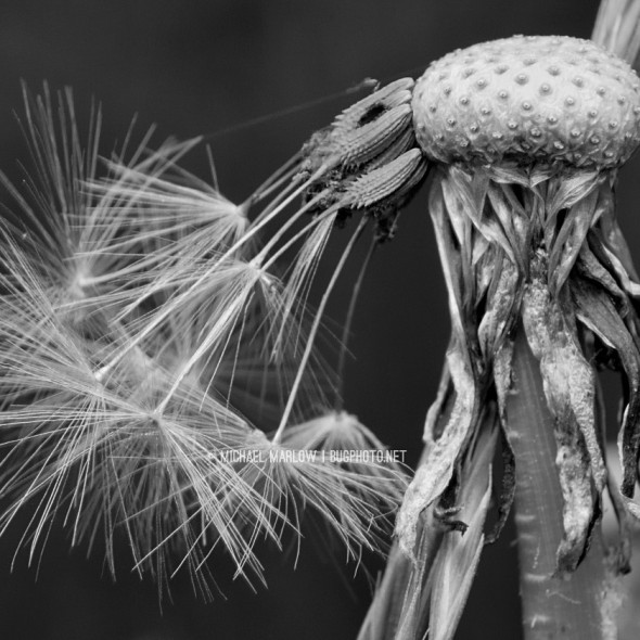fuzzy seeds hang attached to dimpled dandelion center with shriveled vegetation below