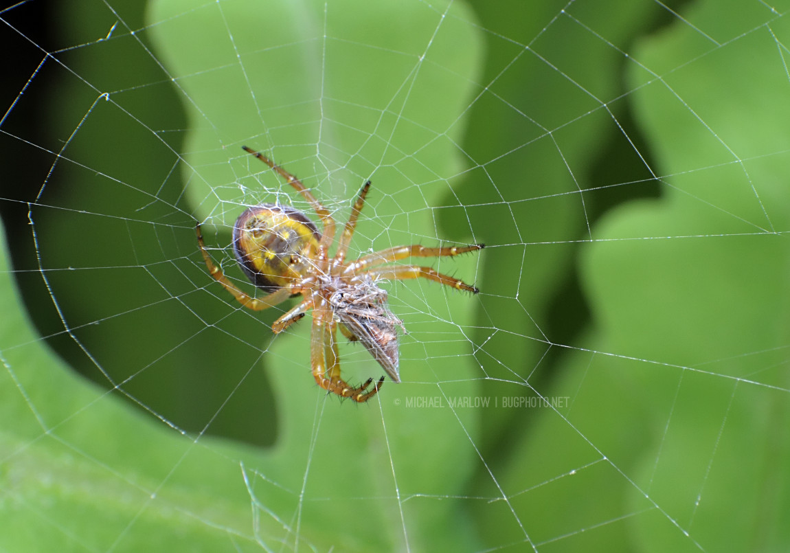 silky concentric web yellowish underbelly and beige leafhopper prey over green leaves