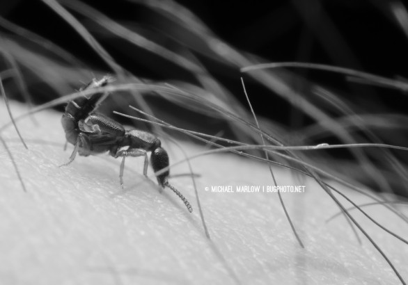 side view of tiny rove beetle through hair curling up its abdomen