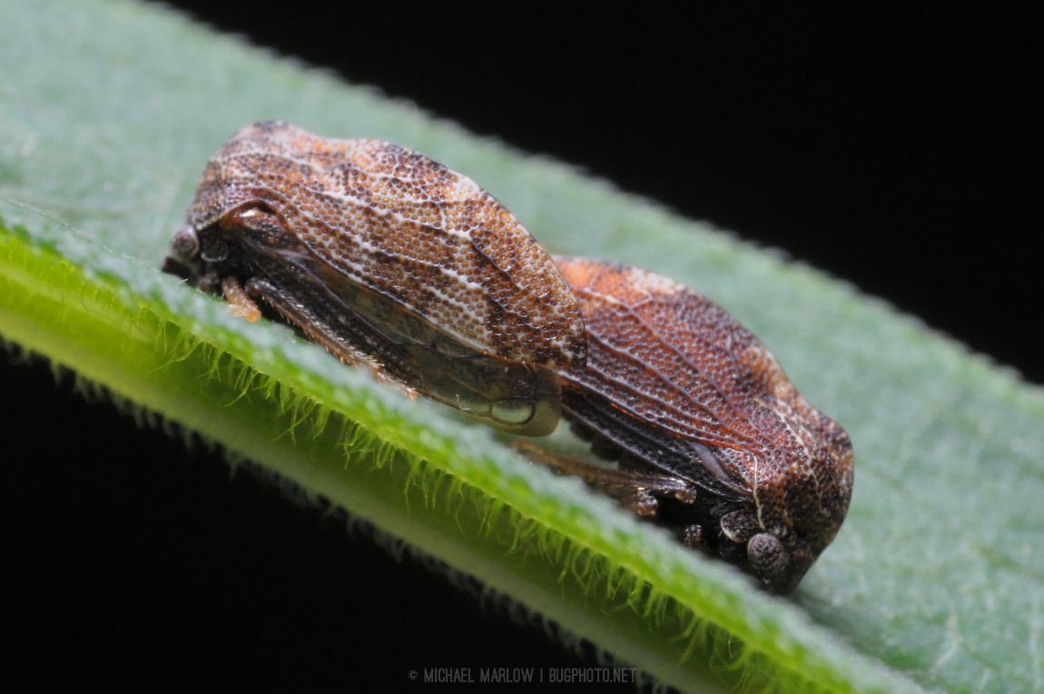 brown treehoppers in mating position