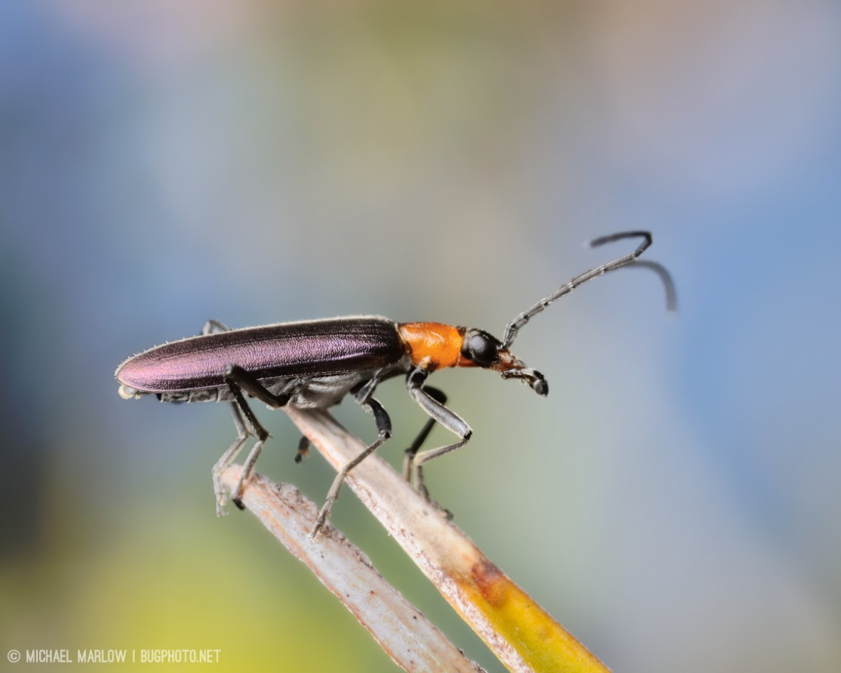 beetle with purple metallic wings and bright orange thoarx on brown leaves