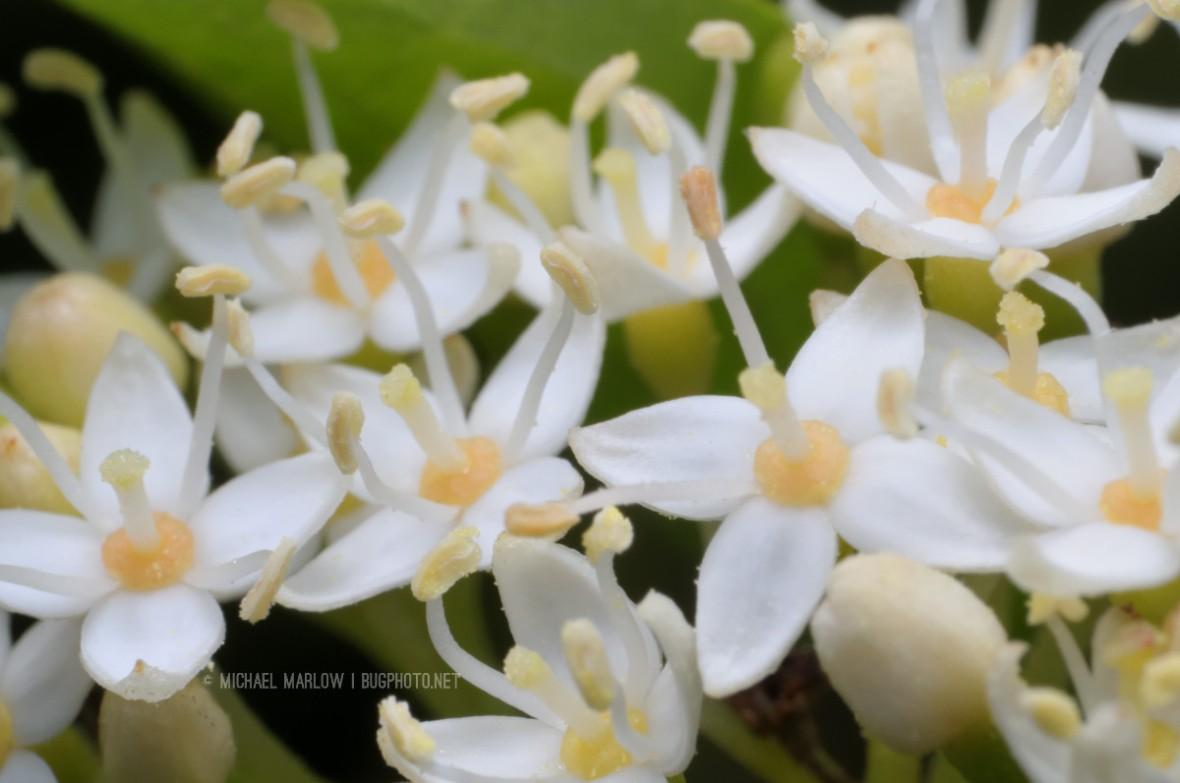 four petaled white flowers