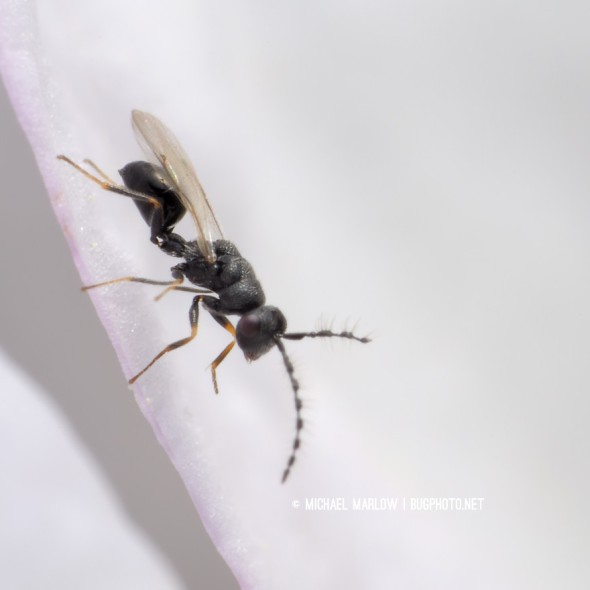 tiny dark wasp on pinkish-tinged white flower petal
