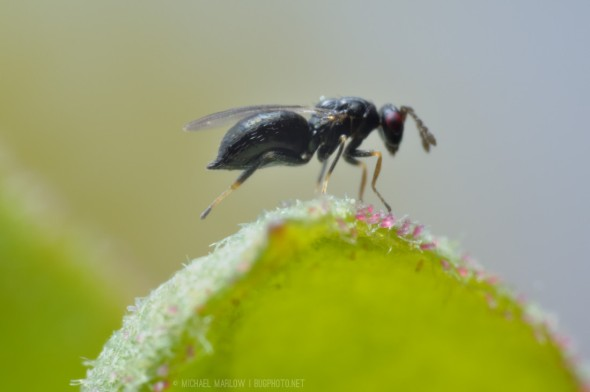 sleek dark wasp balance on front four legs with rear legs extended