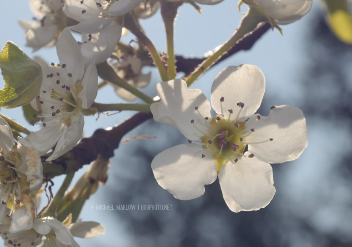 backlit pear blossom with others above and facing to the left