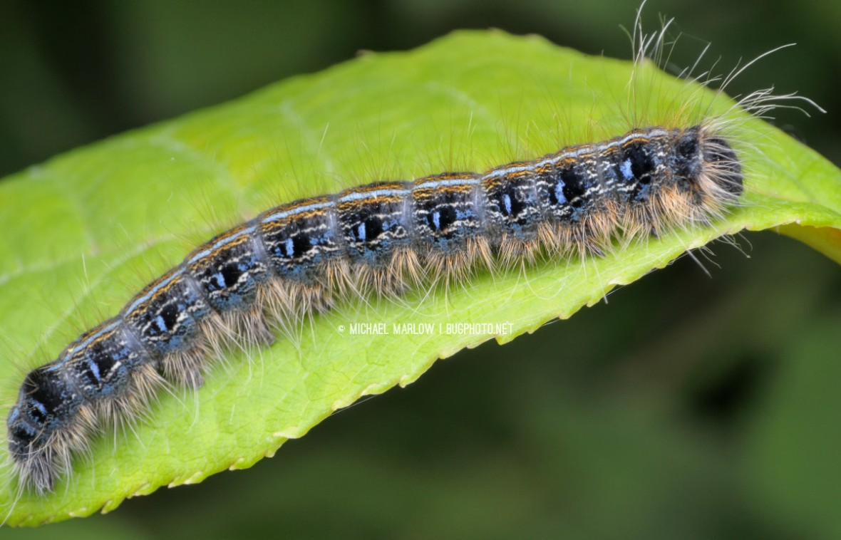 blue caterpillar with dark spots along its side and fuzzy long hairs along its lower fringe