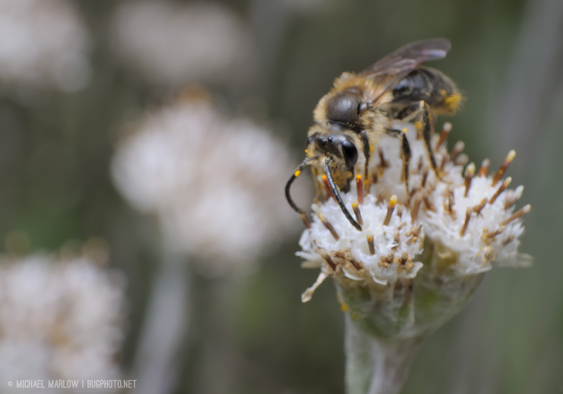small bee on small white flower with orange-brown stem-like projections